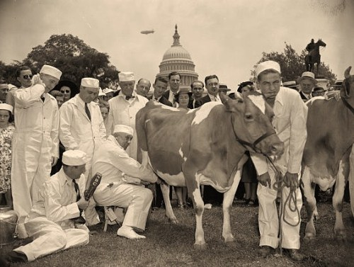 Congressional milking contest declared draw. Washington, D.C., June 9. The four congressmen competing for mlking championship of the 75th Congress today on the Capitol plaza deserted their cows to make speeches when the discovered a microphone nearby. Halting the contest in mid-squirt, Rep. Marvin Jones, acting as referee, declared it a draw after the contestants could show no more than a pint of milk for ten minutes of effort. Left to right: Rep. harry R. Sheppard, Calif.; Rep. Gerald J. Boileau, Wisconsin; Rep. Walter M. Pierce, Oregan; Rep. harold Knutson, Minnesota. Radio announcer Lee Everett holding the mike