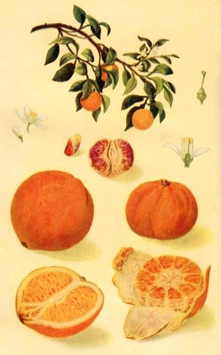 fruit004