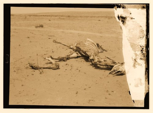 Locust plague, camel carcass stripped by locusts .